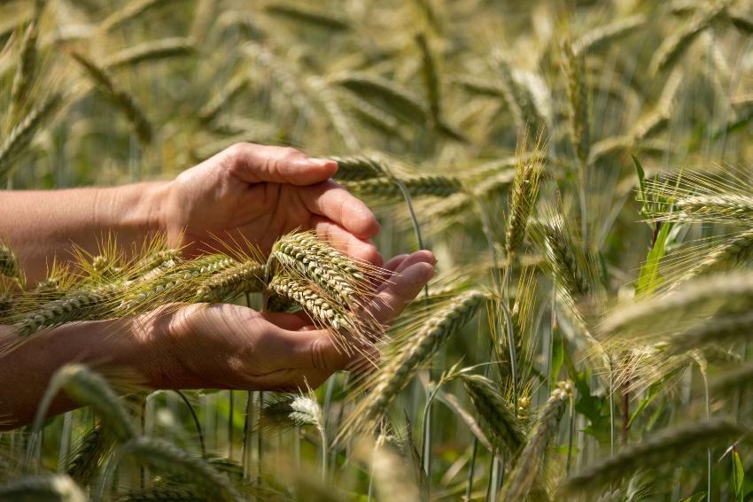 Getreide mit Beta-Glucan